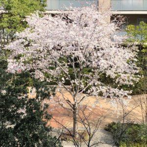 マンション庭の桜の木